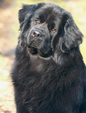 Одной из самых больших в мире собак