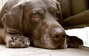 Топ 10 самые большие в мире собаки