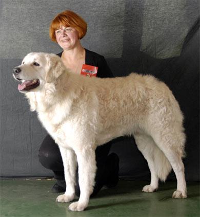 Следует пиренейская горная собака